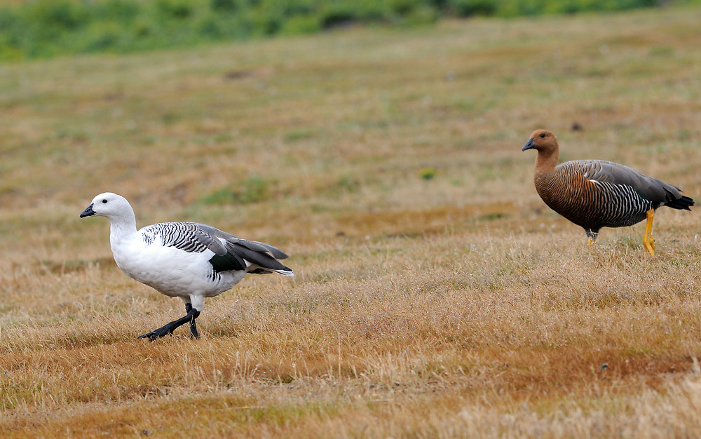 A male and female Upland Goose (Chloephaga picta leuoptera) walk over the sand dunes on Carcass Island. The male is the mostly white bird. Carcass Island, Falkland Islands. 15Feb16