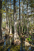 Forest of Bald cypress trees Taxodium distichum and reflections in swamp in the Florida Everglades, USA