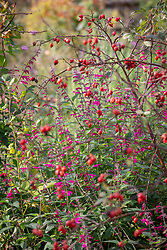 Salvia curviflora with the hips of Rosa rubrifolia syn. R. glauca