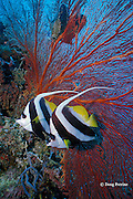 longfin bannerfish or pennant coralfish, Heniochus acuminatus, Susans Reef, Kimbe Bay, New Britain, Papua New Guinea ( Bismarck Sea )