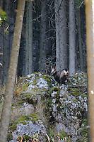 Carpathian chamois (Rupicapra rupicapra carpatica), Cheile Bicazului-Hasmas National Park, Carpathians, Transylvania, Romania