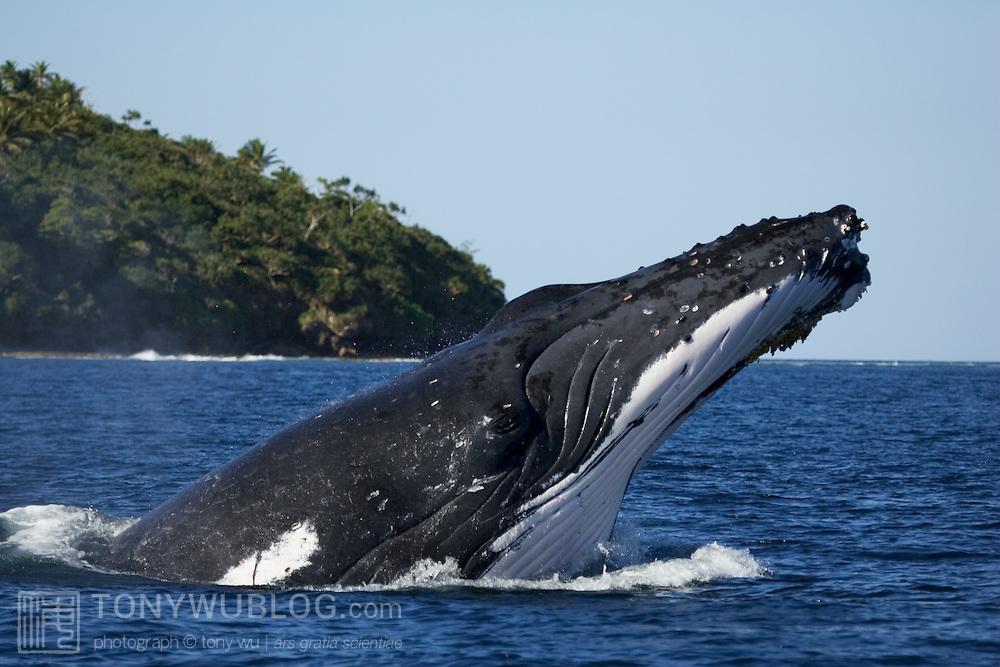Adult female humpback whale (Megaptera novaengliae) executing a forward face-flop breach