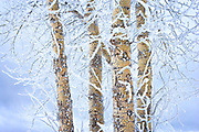 Ice Crusted Birch Trees, Washington State