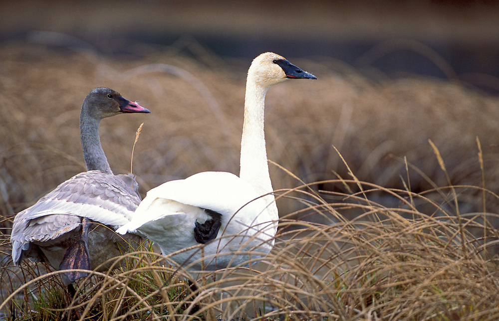 TRUMPETER SWAN AND CYGNET RESTS AFTER FEEDING IN AUTUMN GRASS NEAR POND PRIOR TO SUNSET