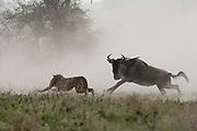 A young cheetah, Acinonyx jubatus, hunting a blue wildebeest calf, Connochaetes taurinus.