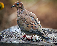 Mourning Dove. Image taken with a Nikon D850 camera and 600 mm f/4 VR lens