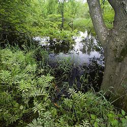 A silver maple floodplain forest in Bedel Bridge State Park, Haverhill, New Hampshire.