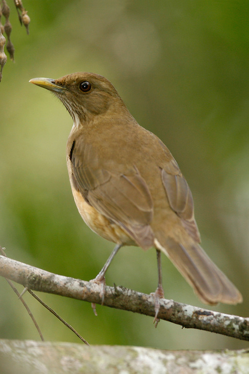 Clay-colored Thrush - Turdus grayi