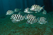 A school of Sheepshead, Archosargus probatocephalus, swims over the barren bottom of the Lake Worth Lagoon in Singer Island, Florida, United States.