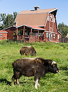 Young musk ox. The Musk Ox Farm near Palmer makes a worthwhile visit at Glenn Highway milepost 50, in Alaska, USA. A musk ox (ovibos moschatus), is not an ox, and has no musk glands. Instead, it is a relative of sheep and goats. 3000 musk ox live in Alaska and 100,000 more live worldwide in the far north. Due to their habit of huddling together in a circle (with calves in the center) when threatened, they nearly went extinct after the invention of guns.