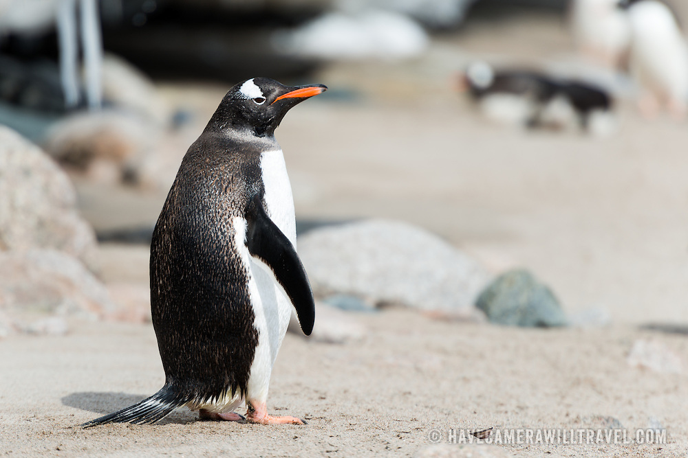 A Gentoo penguin stands on the course sand of a beach at Neko Harbour on the Antarctic Peninsula.