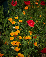 Red, Oriental, and California Poppy. Image taken with a Leica CL camera and 60 mm f/2.8 lens.