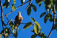 A white-caped fruit dove (ptilinopus dupetithouarsii).