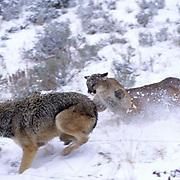 Mountain Lion or Cougar, (Felis concolor) Confrontation with gray wolf over mule deer carcas  (Odocoileus hemionus). Montana.Captive Animal.