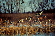 Mallards and Pintails departing flooded soybean field - Mississippi.