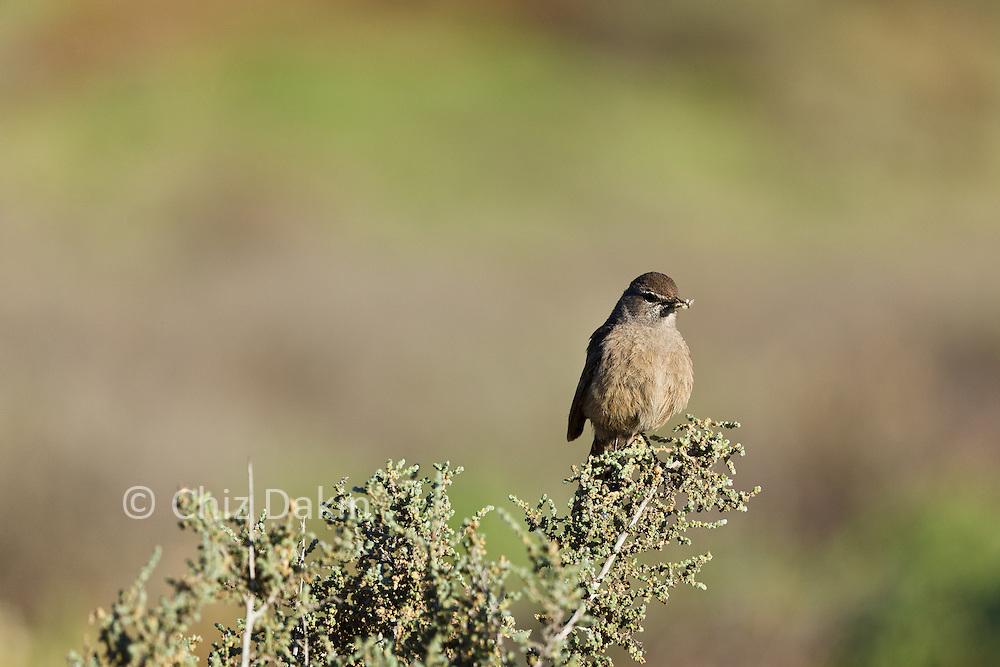 Small brown bird perched on thorntree, de Zeekoe Ranch, Oudtshoorn, Western Cape, South Africa
