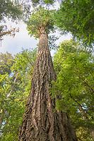 Old Growth Douglas Fir tree in Heart O' the Hills, Olympic National Park Washington