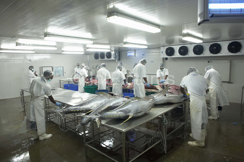 A team of employees of Cyprea Marine Foods fillet freshly-caught yellow fin tuna fish at the company's refrigerated processing factory on Himmafushi island, Maldives. The 50kg carcasses have been swimming across the Indian Ocean non-stop since birth, just line-caught by freelance boat crews who share profits for only high-quality fish that passes stringent health tests. The tuna has been in ice since being landed to keep a low-temperature body core so the workers cut out the prime flesh as quickly as possible before boxing the resulting chunks of steak for export by air to Europe and in particular for customers such as UK's Sainsbury's supermarket. The Sri Lankan workers are ex-fishermen and widowers, having lost their families during the Tsunami. Using extremely sharp knives, they skillfully remove valuable meat and throw away the rest.