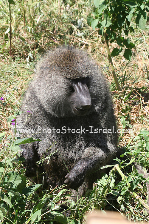 Africa, Tanzania, Serengeti National Park Male Olive Baboon (Papio anubis), also called the Anubis Baboon portrait close-up