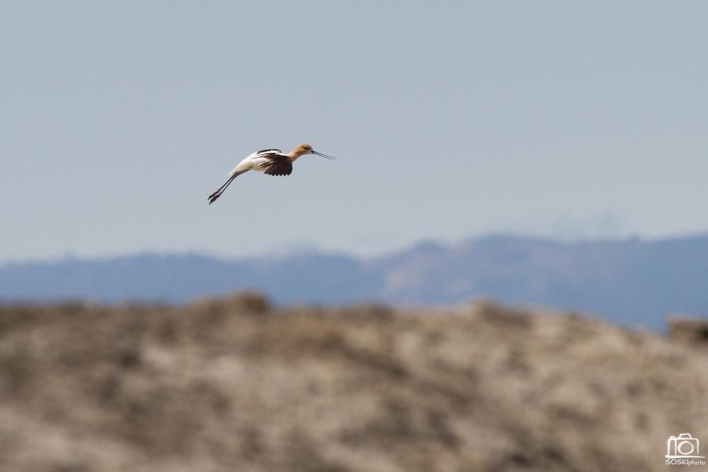 Dozens of birds like this Avocet can seen from the Don Edwards Wildlife Refuge trails near Alviso, Calif.  Photo by Stan Olszewski/SOSKIphoto.