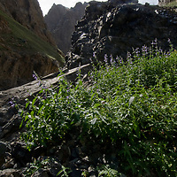 """Unexpected lush wildflowers grow in Yolyn Am, a canyon called """"The Vulture's Mouth"""" in the Gobi Desert, Mongolia."""
