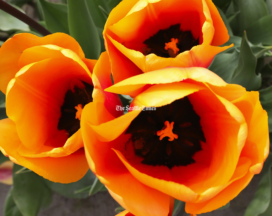 There are 72 varieties of tulips grown at Tulip Town in the Skagit Valley. (Alan Berner / The Seattle Times)