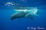 humpback whale mother and calf, Megaptera novaeangliae, Vava'u, Kingdom of Tonga, South Pacific