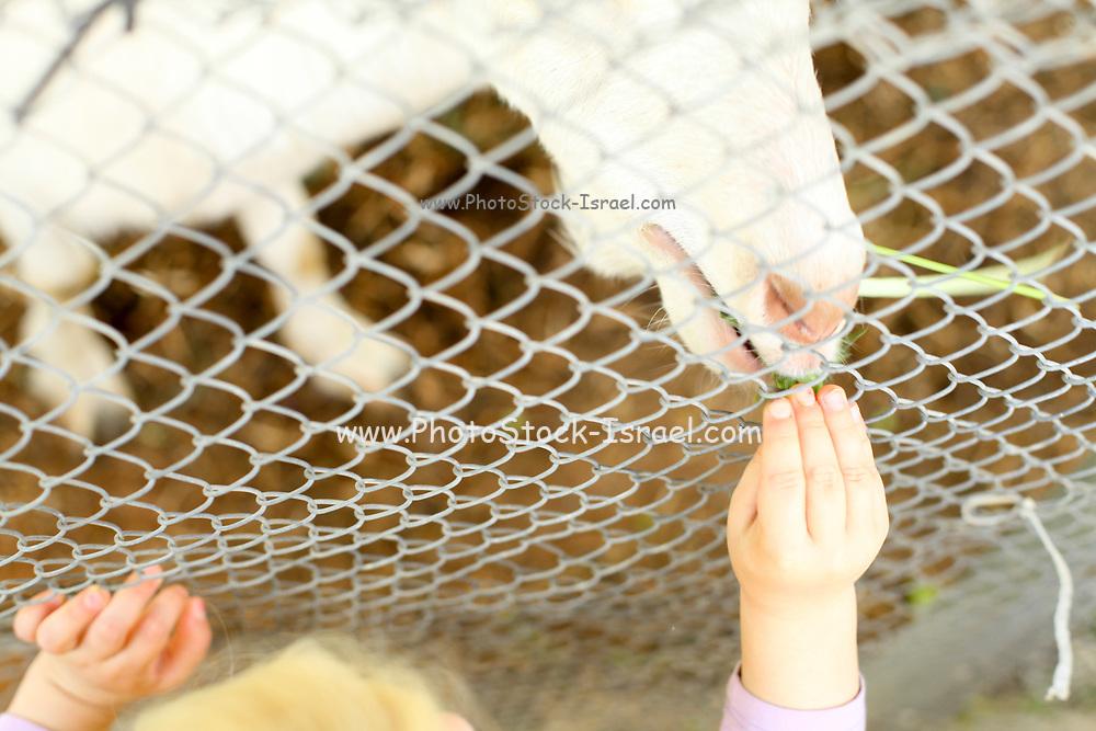 Young girl feeds a goat through a fence on a farm