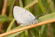 Small blue butterfly (Cupido minimus) resting on grass stem. Dorset, UK