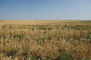 wheat field in Oklahoma panhandle that has grass and weeds growing in it.  When farmers take wheat crop to elevator with this kind of weeds, they get docked by the elevator. Farmers can plant canola, which is resistant to roundup herbicide, to clean up these wheat fields and reduce dockage in future crops.