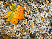 An orange, yellow, green leaf rests on polygons of orange and gray lichen on a rock in Denali State Park, Alaska, USA.