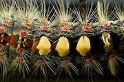 Vapourer moth (Orgyia antiqua) Reserve 'Niedersächsische Elbtalaue' (Lower Saxonian Elbe Valley), Germany | Schlehenspinner (Orgyia antiqua)- Raupe versteckt zwischen Eichenblättern