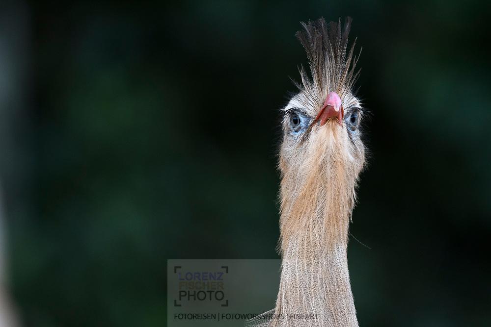 A close-up portrait of a red-legged seriema (Cariama cristata) Bonito, Mato Grosso do Sul, Brazil
