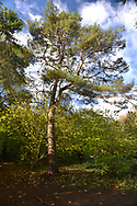 Scots Pine - Pinus sylvestris, Stoke Wood, Oxfordshire.