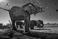 Eine Gruppe von jungen Elefantenbullen (Loxodonta africana) beim Trinken und Schlammbaden an einem Wasserloch, Tuli Block, Botswana<br /> <br /> A group of young bull elephants (Loxodonta africana) drinking and mud bathing at a waterhole, Tuli Block, Botswana