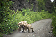 Bear 435 and cub on the Valley Road in Katmai National Park, Alaska