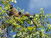 A rare Woolly monkey and Infant in Manu National Park, Peru, South America