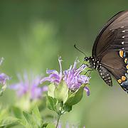Black swallowtail butterfly nectaring on wild bergamot flower in tallgrass prairie setting, central Ohio.