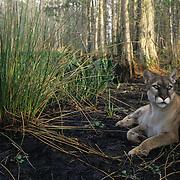 Florida Panther (Felis concolor coryi) in the Florida Everglades. Captive Animal