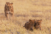 A lioness and her cubs (Panthera Leo) walk together through the grass, Savuti, Botswana