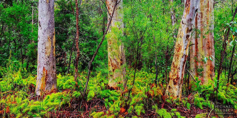 A stand of colourful eucalyptus trees on the eastern side of Fraser Island.<br /> <br /> Limited Edition Print