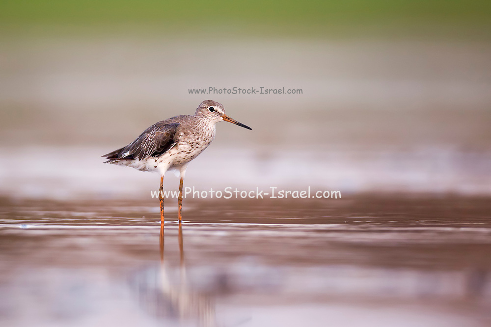 Common redshank (Tringa totanus) hunting for food in shallow water. This bird is found throughout Europe and northern Asia. It migrates to the coasts of the Mediterranean, South Asia and the Atlantic coasts of Europe. The redshank nests in wetland areas laying up to five eggs. Photographed at Ein Afek Nature reserve, Israel in August