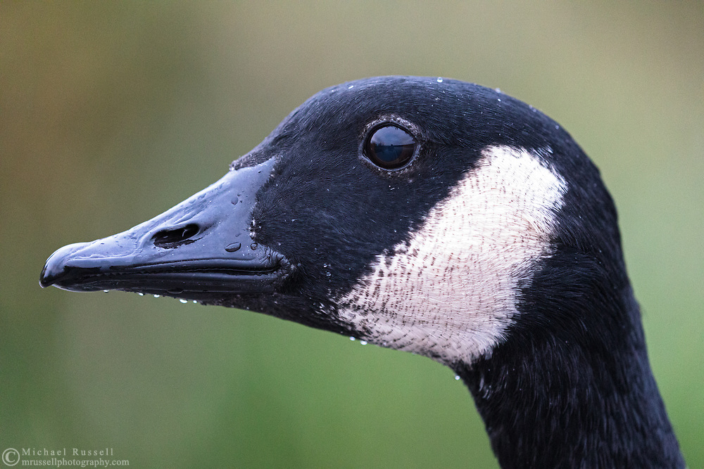 A Canada Goose (Branta canadensis) at Burnaby Lake sits still long enough for a closeup headshot.