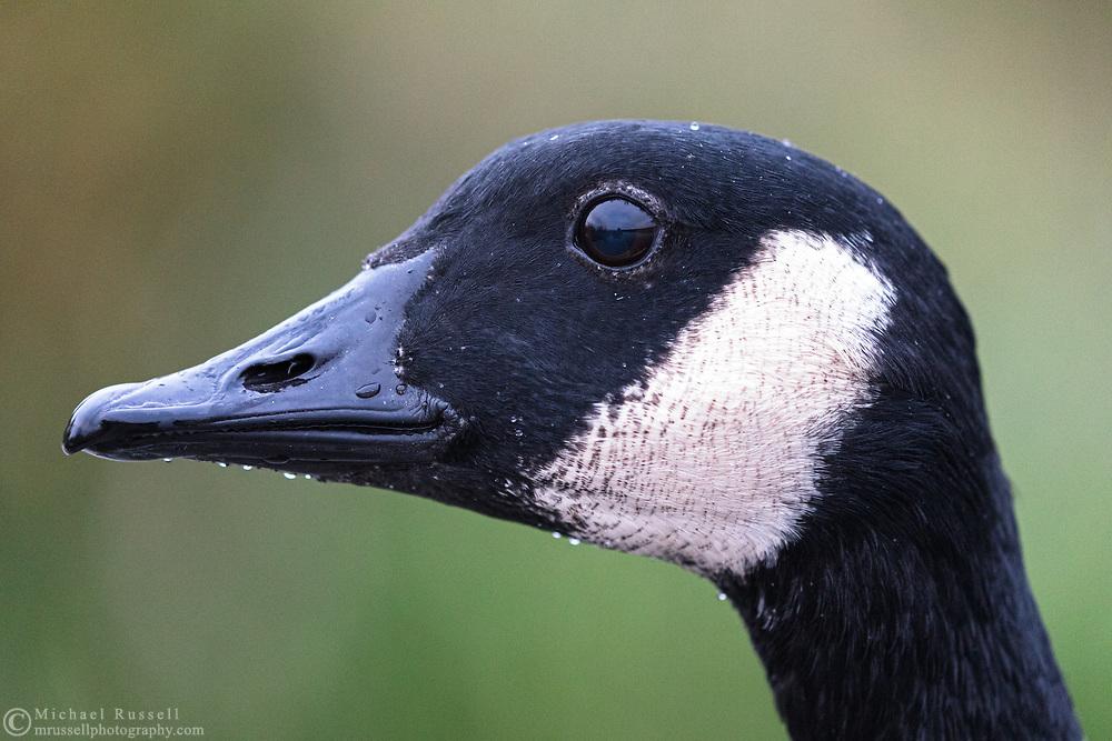 A Canada Goose (Branta canadensis) at Burnaby Lake sits still long enough for a closeup headshot.
