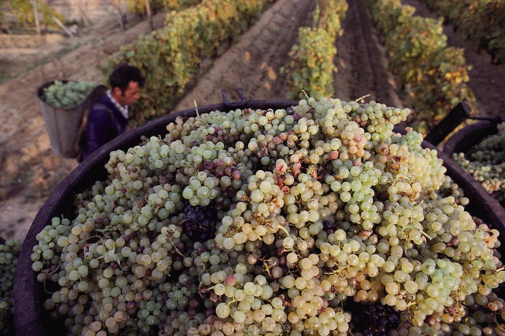 Grape harvest. Bordeaux, France.