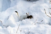 Ermine (weasel) carrying a rodent in winter habitat.