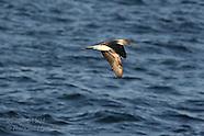 15: SEA CORTEZ BIRDS