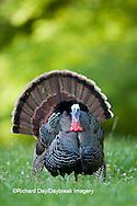 00845-07102 Eastern Wild Turkey (Meleagris gallopavo) gobbler strutting in field, Holmes Co., MS