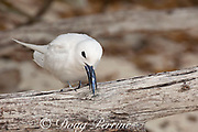 white tern or fairy tern, Gygis alba rothschildi, eating a juvenile flying fish, Sand Island, Midway, Atoll, Midway Atoll National Wildlife Refuge, Papahanaumokuakea Marine National Monument, Northwest Hawaiian Islands, USA ( Central North Pacific Ocean )