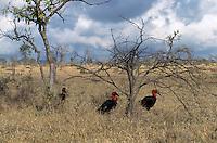 A trio of ground hornbills.